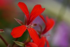 Close up Macro water droplet on stamen of red flower stock photos