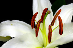 Close up macro white lily with pollen on black background Stock Images