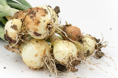 Close up macro young onions with soil Royalty Free Stock Photo