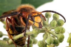 Close-up, macrofoto van een Wesp die op een Klimopbloem voeden Stock Afbeeldingen