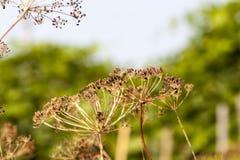 Close-up maduro do aneto Fotografia de Stock Royalty Free