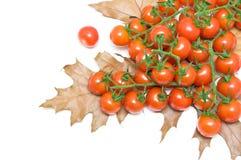 Close up maduro dos tomates de cereja e das folhas de outono no backgrou branco imagem de stock