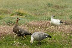 Close Up of Magellan Geese in a Grassy Field royalty free stock images