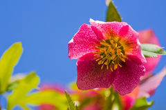 Close up of a magenta hellebore Stock Photography