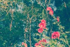 Hollyhock Alcea rosea flower Stock Photos