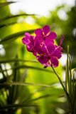 Close-Up of Magenta Orchid Flower in Garden with diffused background Stock Photos