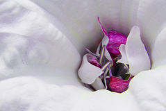 Close Up of Magenta & White Flower Stock Photos