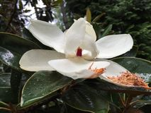 Close up magnolia bloom with raindrops Royalty Free Stock Photo