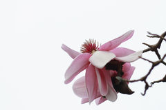 Close Up of a Magnolia Bloom. A close up photograph of a magnolia in bloom against a white winters day sky Stock Photos