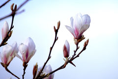 Close up of magnolia flowers. Close up of white magnolia flowers on the spring warm day Royalty Free Stock Photography