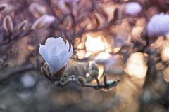 Close up of magnolia flowers. Close up of white magnolia flowers at the spring warm evening Royalty Free Stock Photos