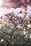Close up of magnolia flowers. Close up of white magnolia flowers at the spring warm evening Stock Images