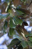 Close Up Of Magnolia Leaves royalty free stock image