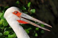 Close-up of maguari stork Royalty Free Stock Images