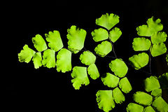 Close up of Maidenhair fern Royalty Free Stock Image