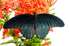 Great Mormon (Papilio memnon agenor) butterfly Stock Image