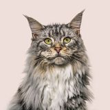 Close-up on a main coon cat face, brown background. Close-up on a main coon cat face, on a brown background Stock Photos