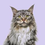 Close-up on a main coon cat face, purple background. Close-up on a main coon cat facing, purple background Stock Images