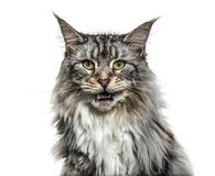 Close-up on a main coon cat meowing, isolated. On white Royalty Free Stock Images
