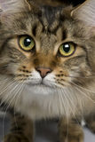 Close-up of Maine coon, 1 year old Royalty Free Stock Photo