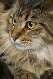 Close-up of Maine coon, 1 year old Stock Photography