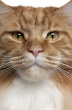 Close-up of a Maine Coon Royalty Free Stock Photo