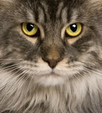 Close up of a Maine Coon (2 years old) Royalty Free Stock Images