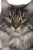 Close up of a Maine Coon (2 years old) Stock Photography