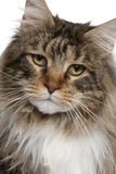 Close-up of Maine coon, 2 years old Royalty Free Stock Images