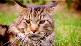 Close up Maine Coon black tabby cat with green eye. Lying on grass. Macro video shift motion 1920*1080 stock footage