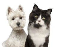 Close-up of Maine Coon cat, 15 months old. And West Highland Terrier against white background stock photos