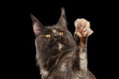 Close-up Maine Coon Cat Looking die omhoog, poot de opheffen, isoleerde Zwarte stock afbeelding