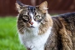 Close-up of Maine Coon cat outdoor on the lawn.  Royalty Free Stock Image