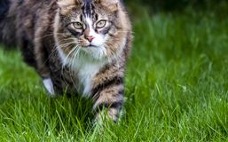 Close-up of Maine Coon cat outdoor on the lawn.  Stock Image