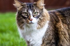 Close-up of Maine Coon cat outdoor on the lawn.  Stock Photography