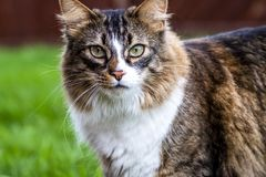 Close-up of Maine Coon cat outdoor on the lawn.  Royalty Free Stock Photo