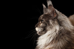 Close-up Maine Coon Cat in Profile, Isolated Black, Side view Royalty Free Stock Image