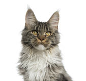 Close-up of a Maine Coon Stock Image