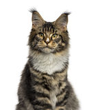 Close-up of a Maine Coon isolated on white Stock Images