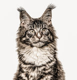 Close-up of a Maine Coon isolated on white Stock Image