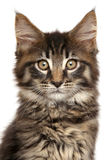 Close-up of Maine Coon kitten isolated on white background Stock Photography