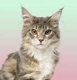 Close-up of a Maine Coon kitten looking at the camera Stock Photography