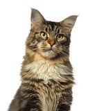 Close-up of a Maine Coon looking away Stock Photography