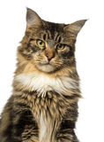 Close-up of a Maine Coon looking away Stock Images