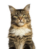 Close-up of a Maine Coon looking at the camera Stock Image