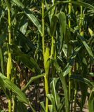 Close-up maize or corn cob. Close-up maize or corn lower part of plant Royalty Free Stock Images