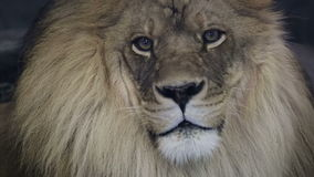 Close up of a majestic male lion staring into camera.