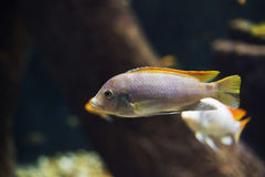Close up on Malawi cichlids. soft focus Royalty Free Stock Photo