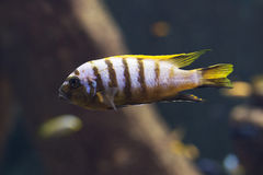 Close up on Malawi cichlids. soft focus Royalty Free Stock Image