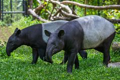 Close up Malayan tapir. Two malayan tapir tapirus indicus Thailand stock photos